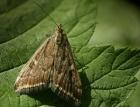 Аграрії занепокоєні: на Полтавщині – нашестя лучного метелика